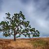 Oak Tree in Storm