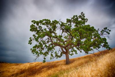 California Oak Tree in Meadow
