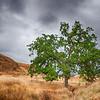 California Oak in Meadow
