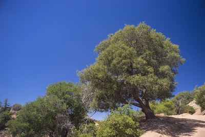 Hillside Tree in California Wilderness