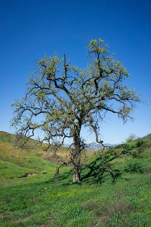 Oak Tree in Green Valley