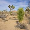 Yucca Plant in Joshua Tree