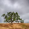 Oak on Grassy Ridge