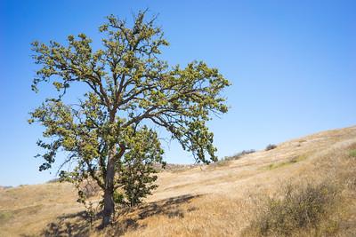 Dry Oak in California Drought