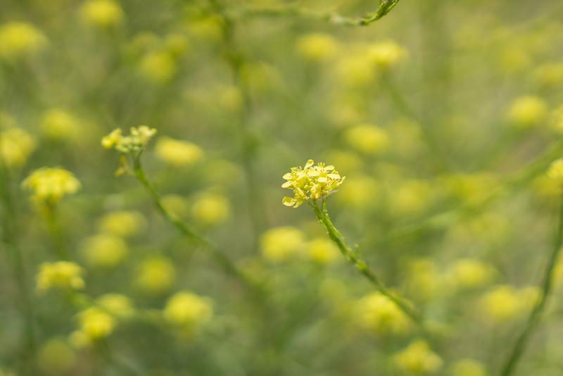 Macro of Yellow Mustard Blossom