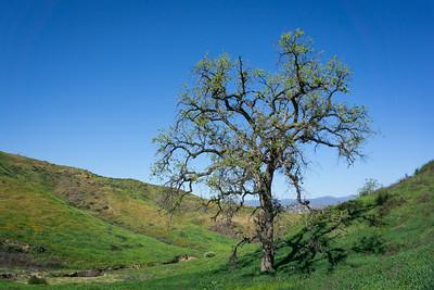 Tall Oak in Green Valley