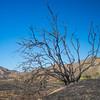 Burned Tree on Hill