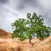 Green Oak in a Vallley