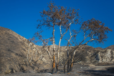 Trees Survive Wildfire