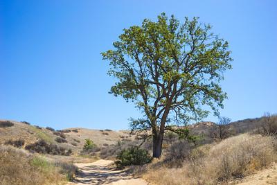 Oak Tree Beside Path