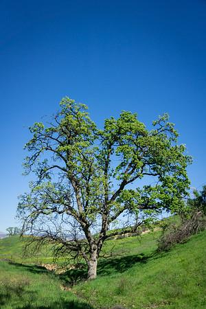 Green Oak Tree in Canyon
