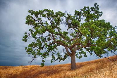 Oak Tree on Hillside