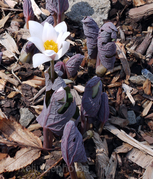 Bloodroot, Pisgah National Forest