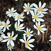 Bloodroot, full bloom. Pisgah National Forest