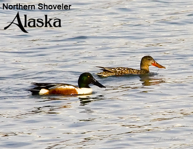 northern; shoveler; lake; water; alaska; group; pair;