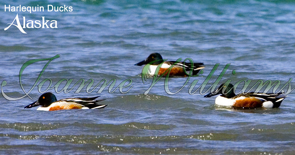 harlequin; ducks; lake; water; alaska; group;