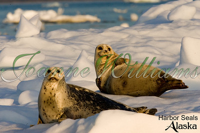 lake; water; alaska; ice; snow; harbor; seal; pair; two;