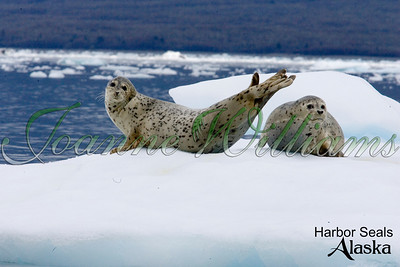 harbor; seals; lake; water; alaska; group; pair; ice; snow;