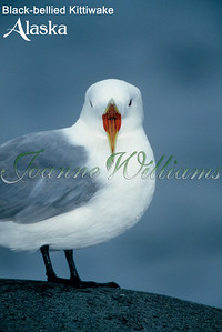 lake; water; alaska; ice; snow; black; billed; kittiwake;