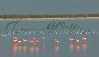 Flamingos of Inagua #1