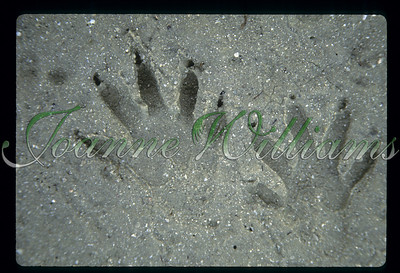 Racoon paw prints, USA,Florida,Ft. DeSoto, Tampa