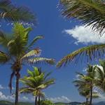 030 palm tree shoreline at Sapphire Beach, St Thomas