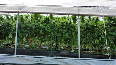 Panning Across Outdoor Cannabis Greenhouse