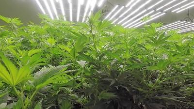 Panning Around Indoor Grow Room