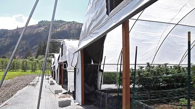 Traveling Through Outdoor Cannabis Greenhouse