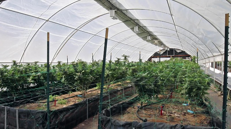 Stationary View of Cannabis Plants in Outdoor Greenhouse