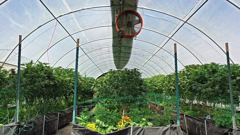Pulling Away From Cannabis Greenhouse