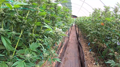 Pulling Away From Cannabis Plants in Greenhouse