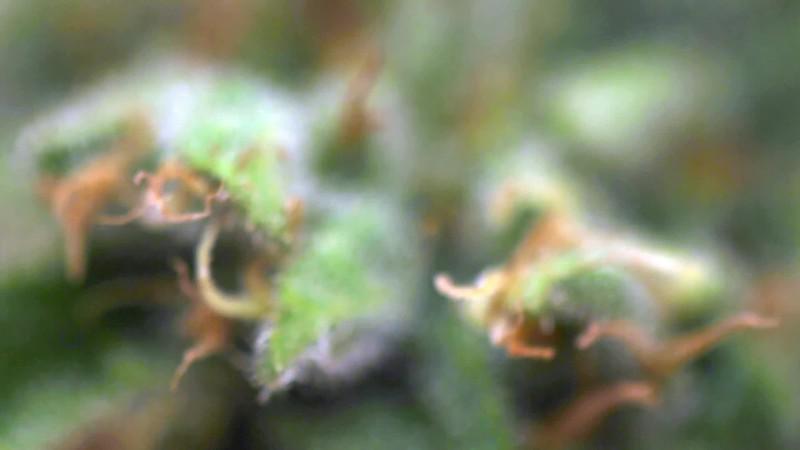 Macro Pulling Focus on Spinning Bud