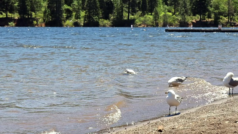 Seagull Taking Bath by the Shore