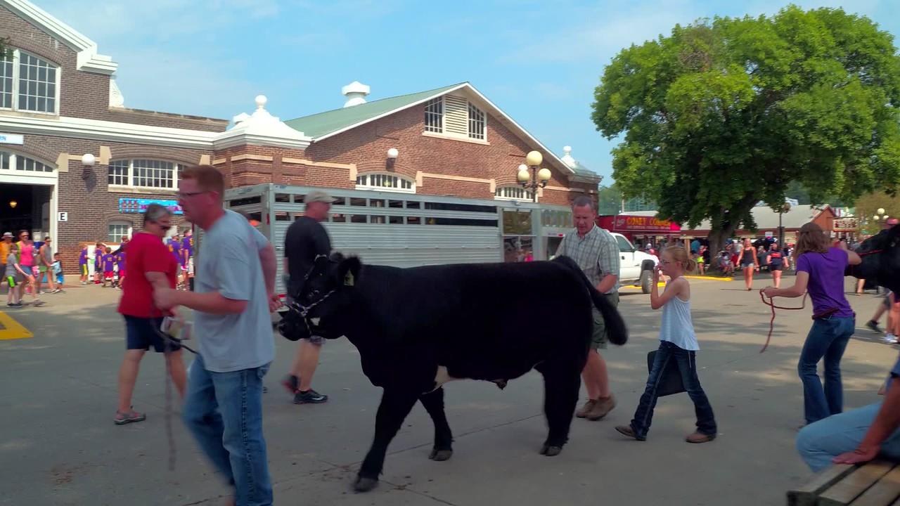 Show cattle at the Iowa State Fair Des Moines