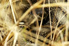 Northern pacific rattlesnake (Crotalus oreganus oreganus), Big Sur, California