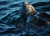 Leatherback turtle (Dermochelys coriacea), Monterey Bay, California