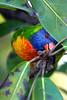 Rainbow lorikeet foraging (Trichoglossus haematodus moluccanus), Sydney Botanical Gardens, Australia