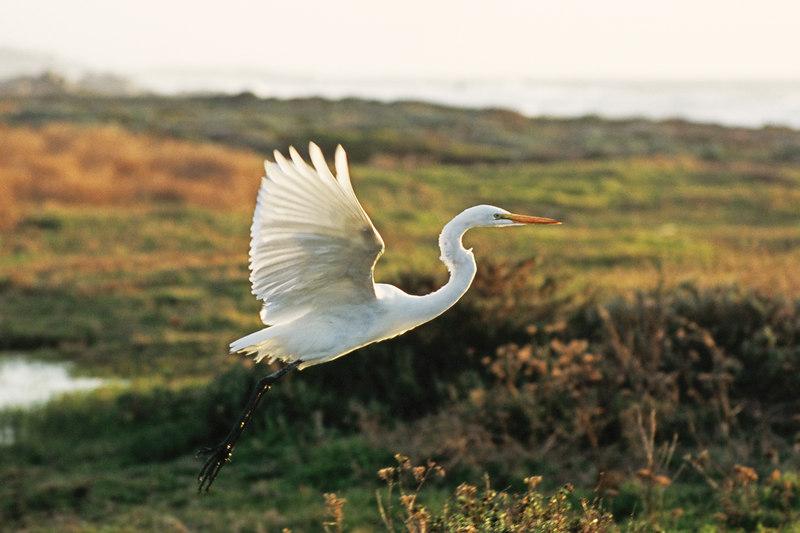 Great egret (Ardea alba), sunset, 17 mile drive, Monterey Peninsula.