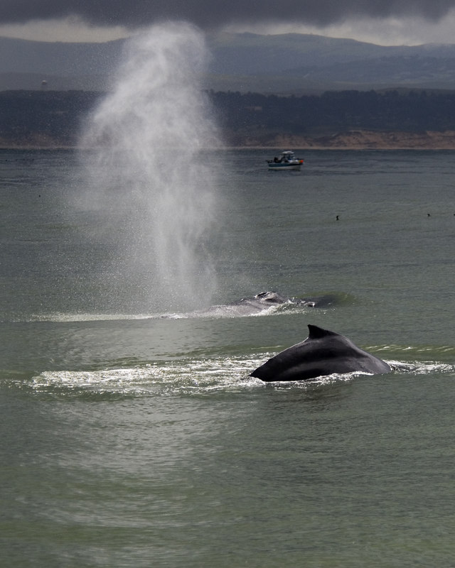 Humpback whales surfacing & spouting with fishing boat in background, Monterey BAy near Moss Landing, California