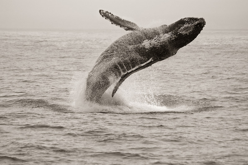 Breaching humpback whale (Megaptera novaeangliae), August 2005, Monterey Bay, California.