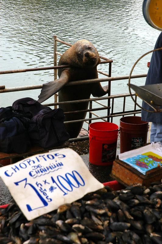 South american sea lion (Otaria flavescens) yearns for handouts.
