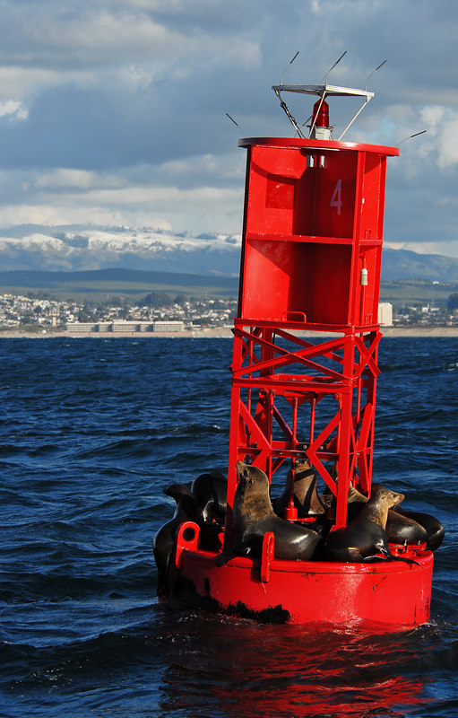 "California sea lions (Zalophus californianus) resting on buoy in Monterey Bay, with some rare snow on the mountains in the background. Thanks to Monterey Bay Whale Watch ( <a href=""www.montereybaywhalewatch.com"">www.montereybaywhalewatch.com</a>) for providing access for this image."