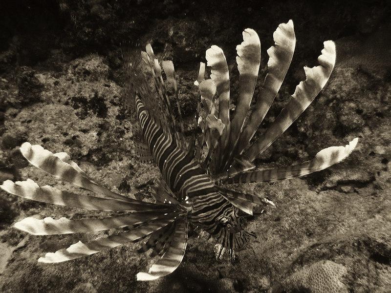 Red Lionfish (Pterois volitans), Fiji