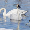 2014 Spring Migration, swans stopping at Creamers Field, Migratory Bird Sanctuary.