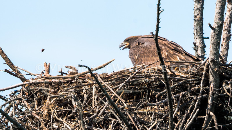 Bald Eaglet