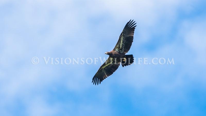 Bald Eaglet Soaring