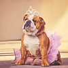 a cute bulldog dressed up in a pink tutu and a princess tiara crown toned with a retro vintage insta