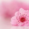 High Key Cherry Flower Close-up