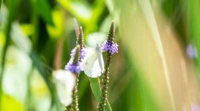A Beautiful Cabbage White Butterfly (Pieris rapae) Perched on a Purple Flowering Plant in Northern Colorado